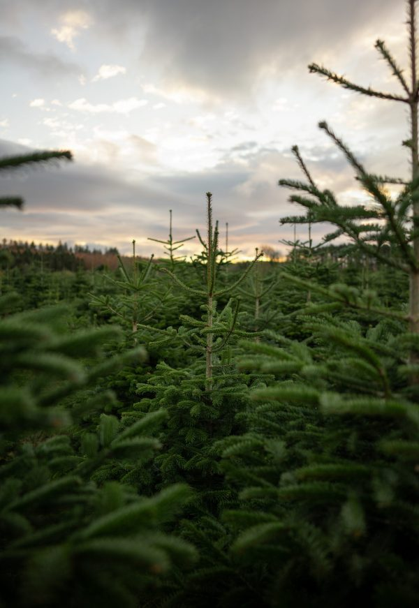 Christmas Tree Free delivery northumberland