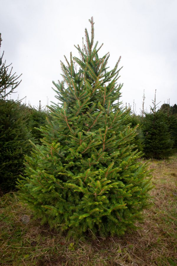 Norway Spruce christmas real tree for sale