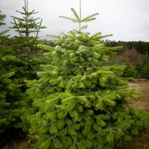 nordman fir christmas tree for sale morpeth