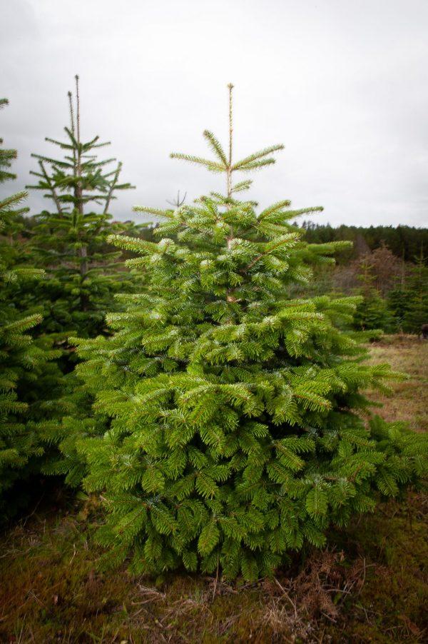 nordman fir christmas tree for sale morpeth