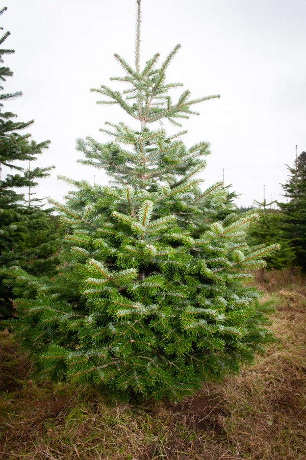 nordman fir tree for sale delivery