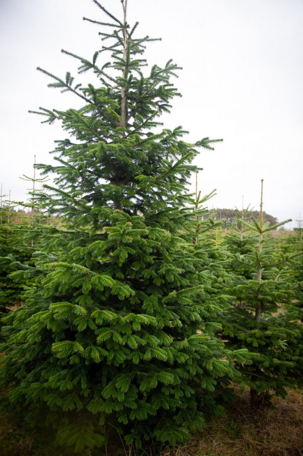 christmas tree for sale newcastle