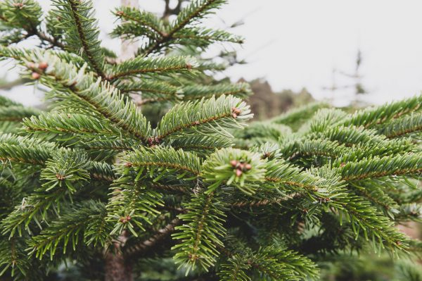 Nordman fir christmas tree for sale