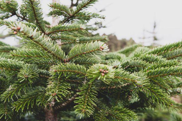 Nordman fir christmas tree for sale