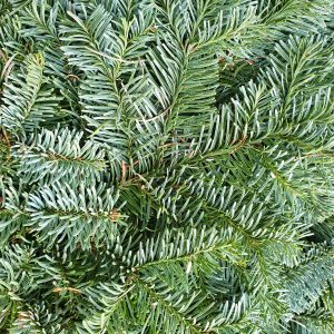 Abies nobilis nole fir northumberland