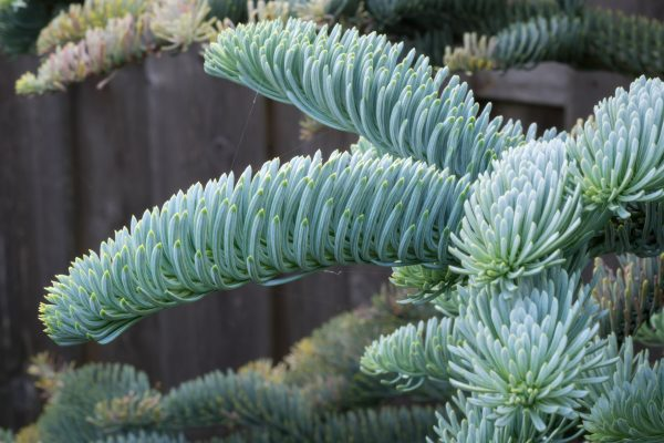 Delivered Foliage Abies nobilis noble fir northumberland