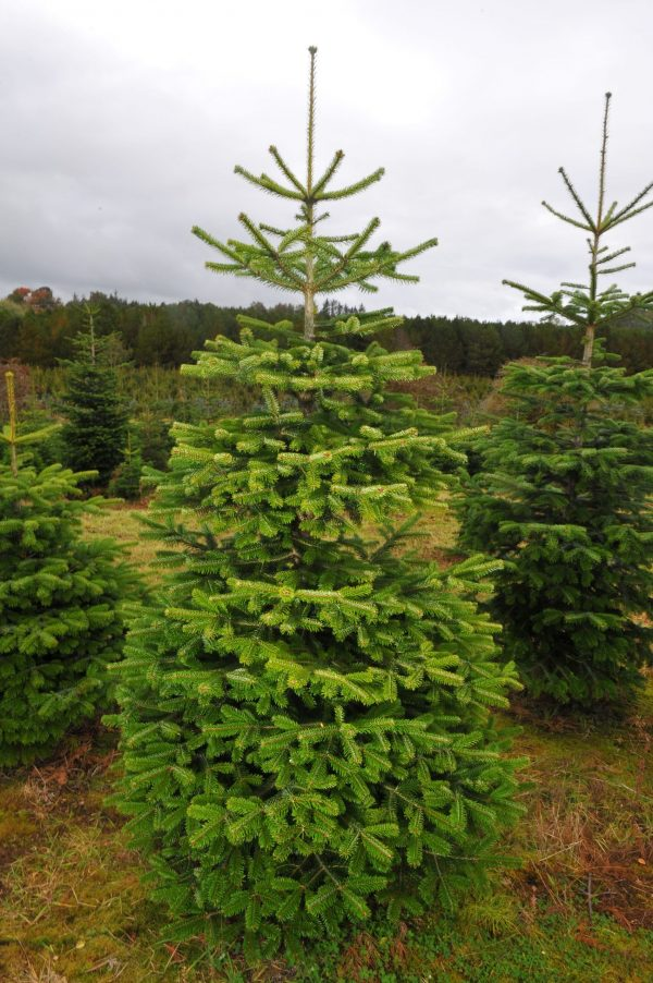 Northumberland Christmas Trees