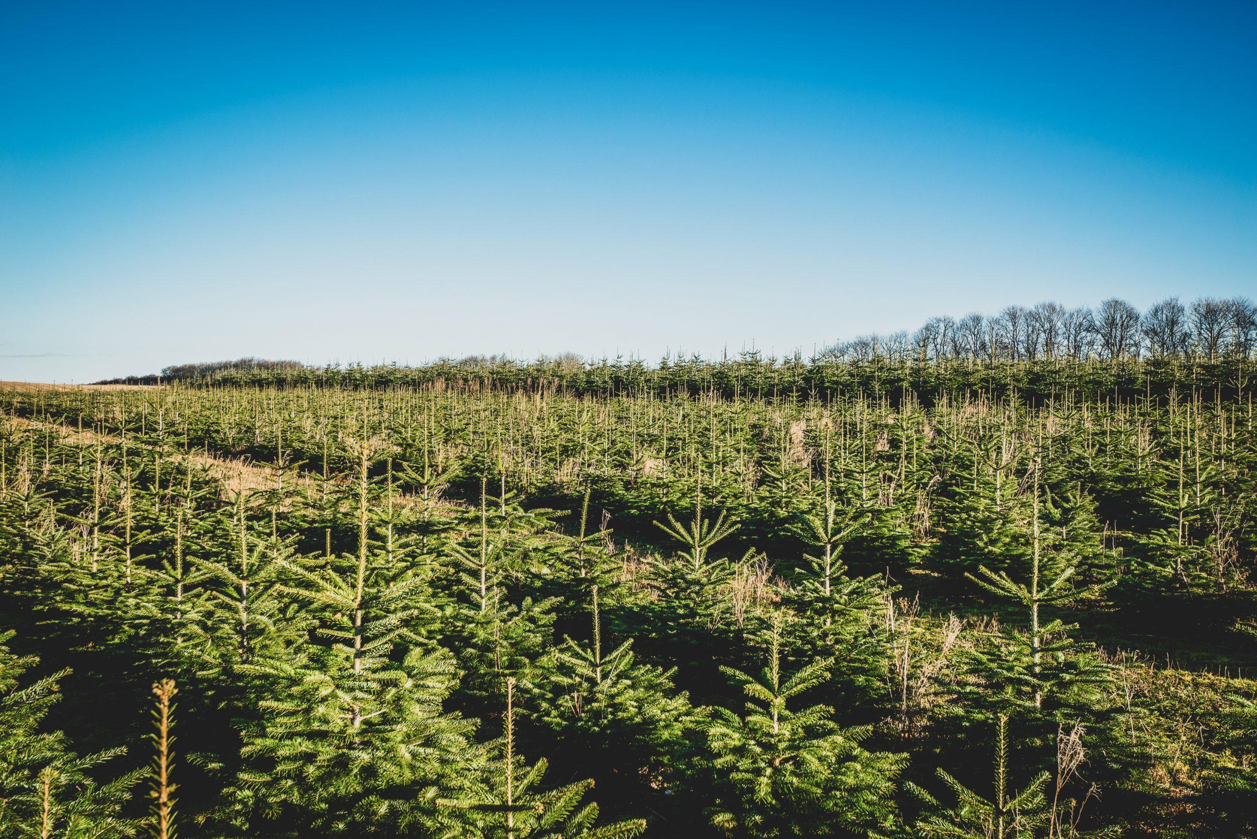 northumberland Christmas trees